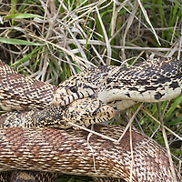 Bull Snakes Mating. Missouri Headwaters State Park, Montana