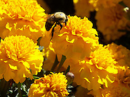 Bumble Bee's Dream - Marigolds - Washington