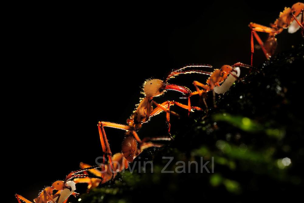 Army ant (Eciton hamatum), La Selva Biological Station, Costa Rica |  Wanderameisen oder Treiberameisen  (Eciton hamatum), Biologische Forschungsstation La Selva, Costa Rica