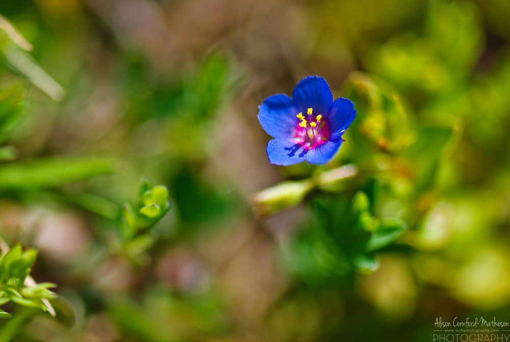 Blue wildflowers bloom in Sardinia, Italy's rocky ground.