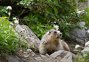 A marmot forages near a stream along the Crypt Lake trail in Waterton Lakes National Park.