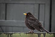 Svarttrost (Turdus merula) en fugl i trostefamilien (Turdidae), regnes som en kortdistansetrekkfugl. Den hekker i tempererte strøk i Eurasia, Nord-Afrika og på Kanariøyene.   i nordlige strøk er vanlig at de trekker sørover for overvintring. <br /> Svarttrosten er nasjonalfugl for Sverige og fylkesfugl i Aust-Agder. I Skandinavia er den kjent som en klassisk vårsanger, som gjerne synger på ettermiddagen og tidlig kveldstid, men kan også synge om natten. Svarttrosten er en av de største trostefuglene i Europa. Hannens fjærdrakt er svart, mens hunnens er brun. Ungfuglen er rødbrun. Det er bare gamle hanner som har gult nebb og gule ringer rundt øyene.