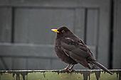 Trostefugler - Turdidae -  Thrush birds