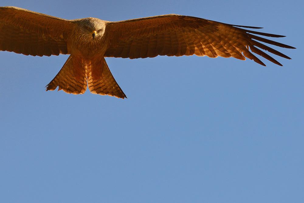 Black kite, Milvus migrans, from a hide in the CAMPANARIOS DE AZÁBA RESERVE, SALAMANCA PROVINCE, CASTILLA Y LEÓN, SPAIN, in the Western Iberia rewilding area