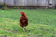A Hen (Gallus gallus domesticus) strolls through the grass at Ruckle Farm at Ruckle Provincial Park on Salt Spring Island, British Columbia, Canada.