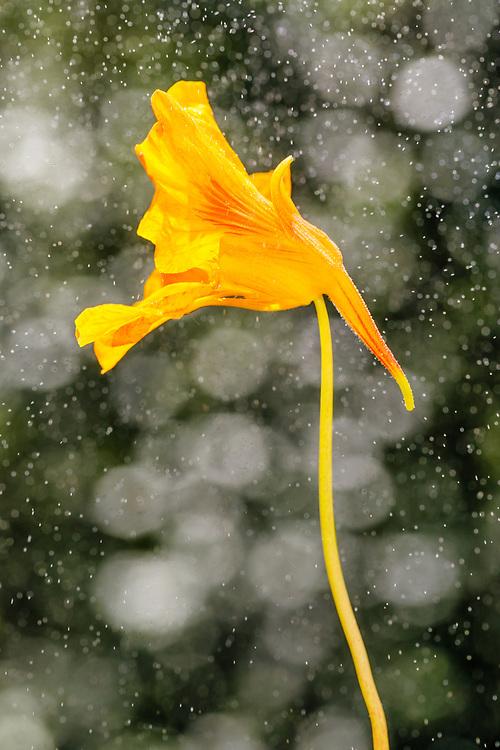 Nasturtium flower in garden in Southcentral Alaska. Summer. Afternoon.