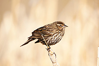 A female Red Winged Blackbird warms itself on a sunny spring morning along a marsh pond in a stand of cattails.