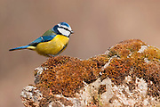 Blue tit (Parus caruruleus), Spain.