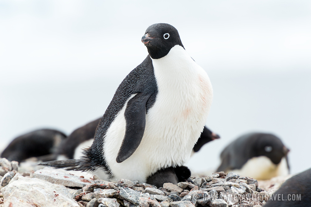 An Adelie penguin protects and warms its chick on a nest of stones at a rookery on Petermann Island, Antarctica.
