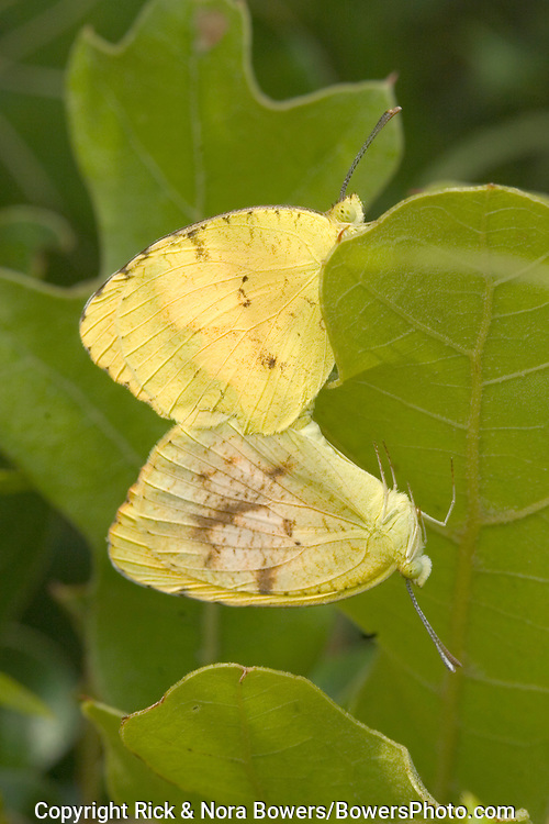 Sleepy Orange .Eurema nicippe.Tallgrass Prairie Preserve, Nature Conservancy, Pawhaska, Oklahoma.8 July  Pair mating   Coliadinae..