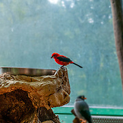 Brazilian tanager (Ramphocelus bresilius) perched on a rock. Haus Des Meeres, the Aquarium and terrarium building, Esterhazy Park, Mariahilf, Vienna, Austria