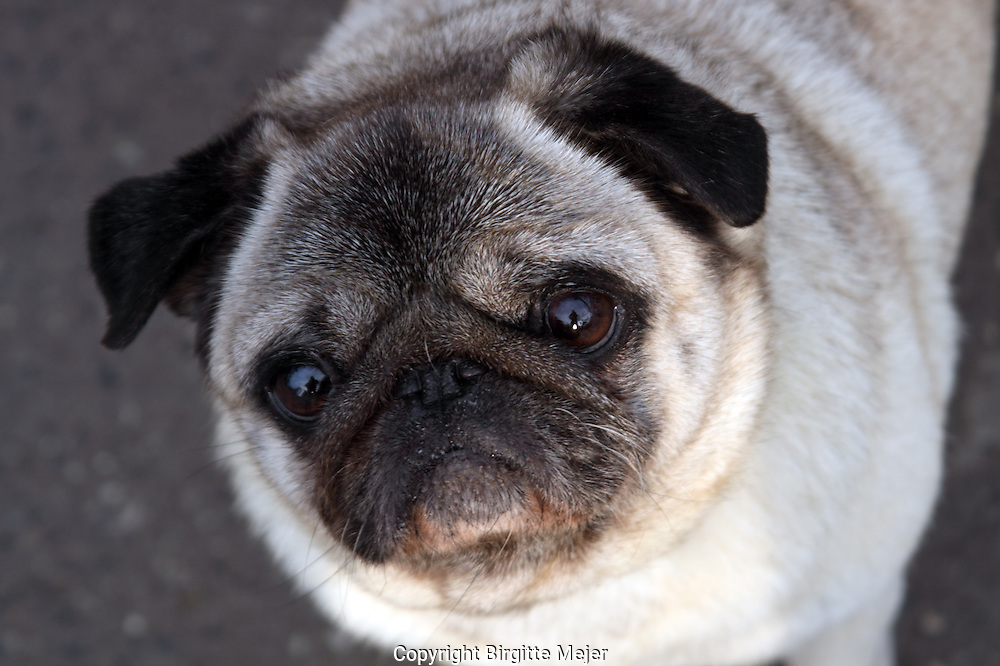Close up head shot of a pug, looking directly at the Camera.