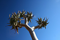 In the Namib Desert, the Quiver Tree gets its name from the San practice of hollowing out the tubular branches of Aloe dichotoma to form quivers for their arrows.