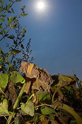 13.07.2010, Dürre, im Bild durch die Sonne bei blauem Himmel vertrockneter und verdorrter Kürbis, EXPA Pictures © 2010, PhotoCredit: EXPA/ Erwin Scheriau