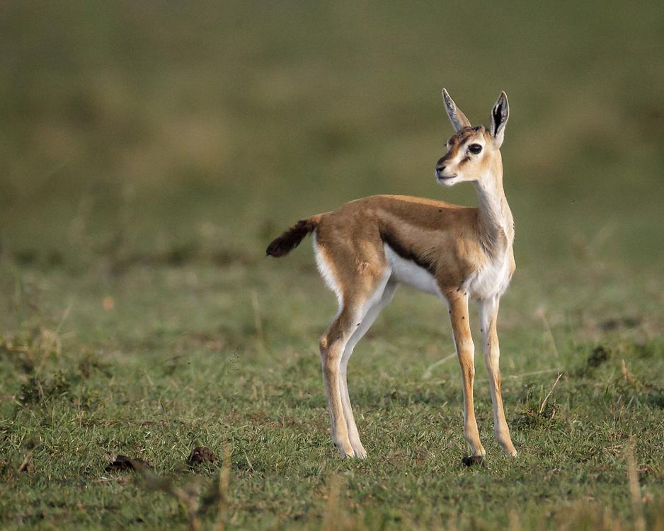 Eudorcas thomsonii, Kenya