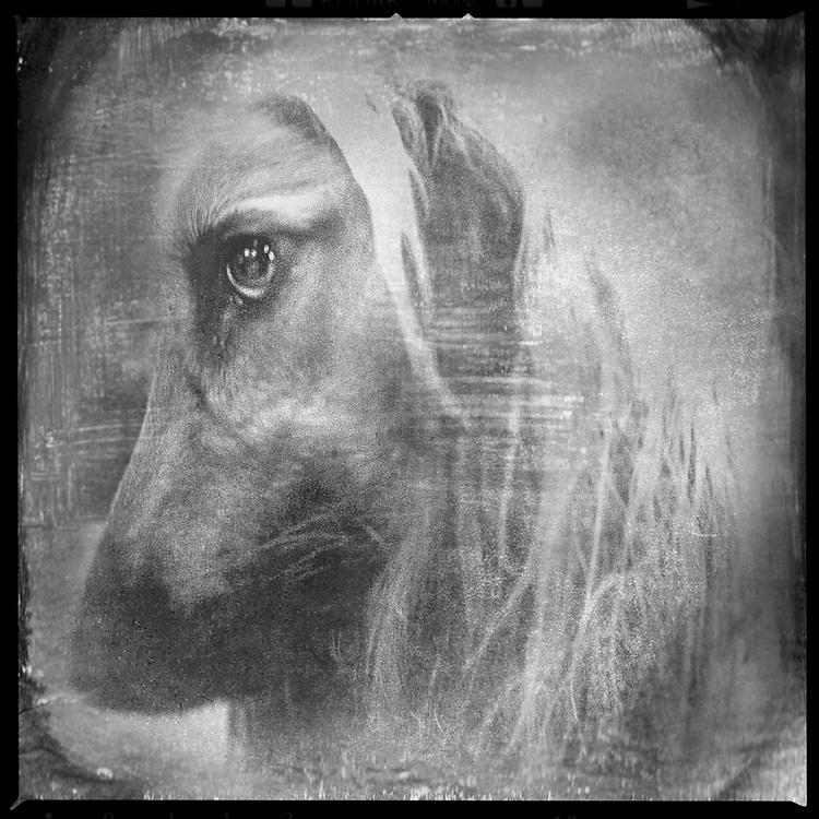 BENJAMIN KRAIN 6-22-08<br /> Arkansas Kennel Club All Breed Dog Show<br /> AJ, Afghan Hound<br /> dog portrait shot with TTV process