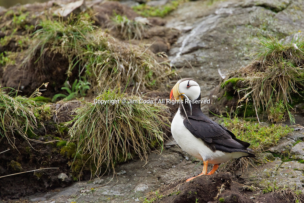 A hornde puffin stands near its nest with a fish.