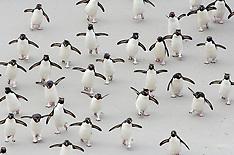 Rockhopper penguins | Felsenpinguine