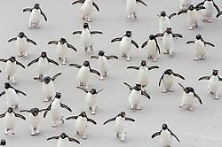 Never alone and always in a hurry: the rockhopper penguins (Eudyptes chrysocome) first have to cross a sand flat on their way back to the breeding colony and obviously they can't help hopping  every now and then even in the complete absence of rocks. Falkland Islands | Immer in der Gruppe und immer in Eile: Felsenpinguine (Eudyptes chrysocome) überqueren auf ihrem Weg zurück zur Brutkolonie eine breite Sandfläche. Wie aus Gewohnheit bauen sie auch auf ebenem Grund immer wieder kleine Hopser in ihren Watschel-Gang ein. (Falkland Inseln)