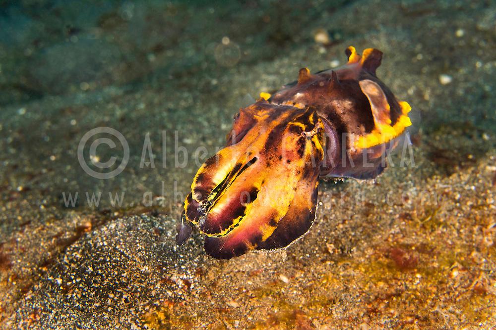 Alberto Carrera, Cuttlefish, Flamboyant Cuttlefish, Metasepia pfefferi, Lembeh, North Sulawesi, Indonesia, Asia