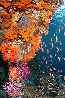 Anthias feeding off of a sheer wall covered with Soft Corals<br /> <br /> Shot in Indonesia