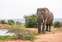 African Elephant bull drinking from a waterhole, Marataba Private Game Reserve, Limpopo, South Africa