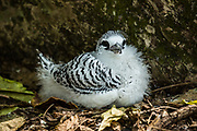 White-tailed tropicbird (Phaethon lepturus) fledgling in a nest. Photographed on Bird Island, Seychelles.