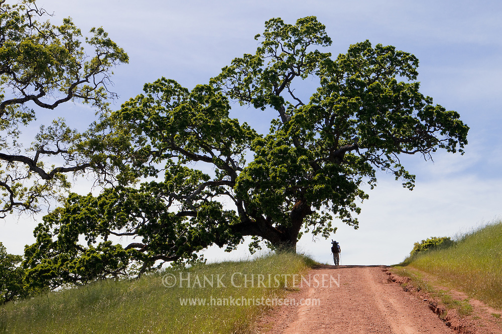 A backpacker is dwarfed by a large oak tree growing over the trail, Henry Coe State Park, California