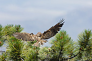 Adult Short-tailed Hawk (Buteo brachyurus) bringing prey to nest;  Arizona, (Nesting Record)