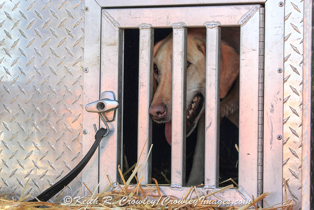 Yellow Labrador retriever looks out from her kennel during a pheasant hunt in South Dakota