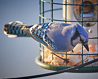 Blue Jay at the Bird Feeder. Image taken with a Nikon D5 camera and 600 mm f/4 VR telephoto lens (ISO 1250, 600 mm, f/4, 1/640 sec)