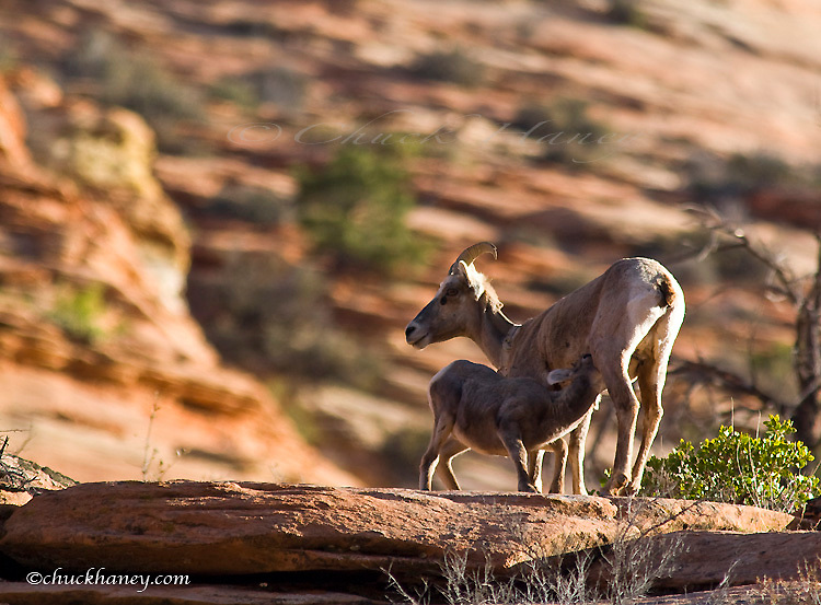 Desert bighorn sheep lamb nurses from ewe in Zion National Park in Utah