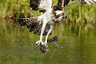 Osprey flies up from pond after capturing a fish, long legs evident, © 2015 David A. Ponton
