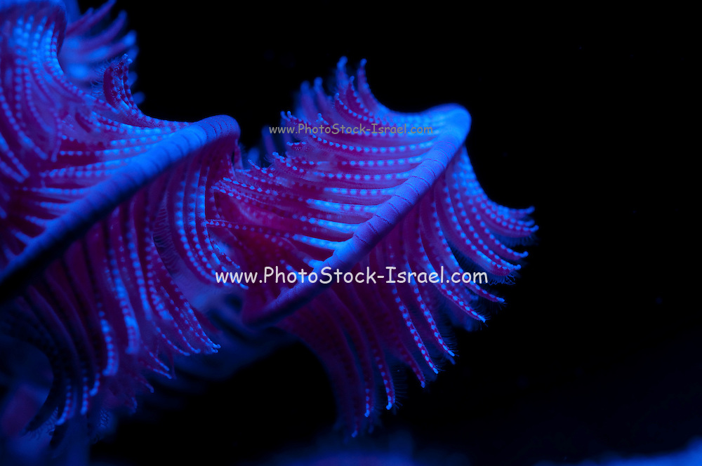 Under water photography of Sea lily (order Crinoidea) closeup. The sea lily, or crinoid, has feathery arms which trap food particles from the water. The particles are then passed to the mouth along the arms. The sea lily is sessile, remaining in one place for its entire adult life, bonded to its substrate by a stalk. Photographed in the Red Sea Israel