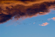 Birds migrating against a cloudy sunset near Boulder, Colorado