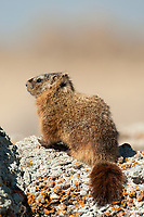 The Yellow Bellied Marmot also known as a rock chuck is well distributed in the western United States.