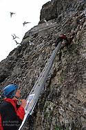 Perched atop ladder in sheer cliffs of kittiwake colony, grad student Solveig Nilsen identifies and relays info on breeding birds to colleague Dagfinn Breivik Skomsø below; Blomstrand island, Kongsfjorden, Svalbard.