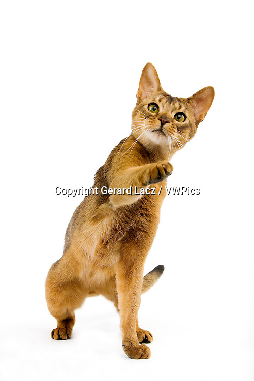 Abyssinian Domestic Cat, Adult playing against White Background