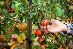 Picking apples in autumn - Malus domestica
