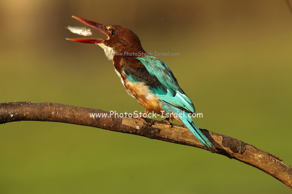 White-throated kingfisher (Halcyon smyrnensis) with a fish in its beak. Also known as the white-breasted kingfisher, this bird is widely distributed throughout Eurasia from Bulgaria to Turkey, and through South Asia to the Philippines. Photographed in Israel, in August.