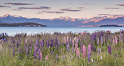 Lupins along Lake Tekapo at sunset, New Zealand