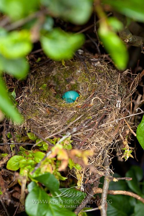 Blackbird, nest, New Zealand