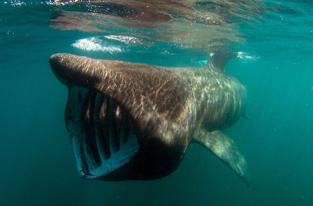 Basking shark, Cetorhinus maximus, feeding, showing gills slits and gill rakers
