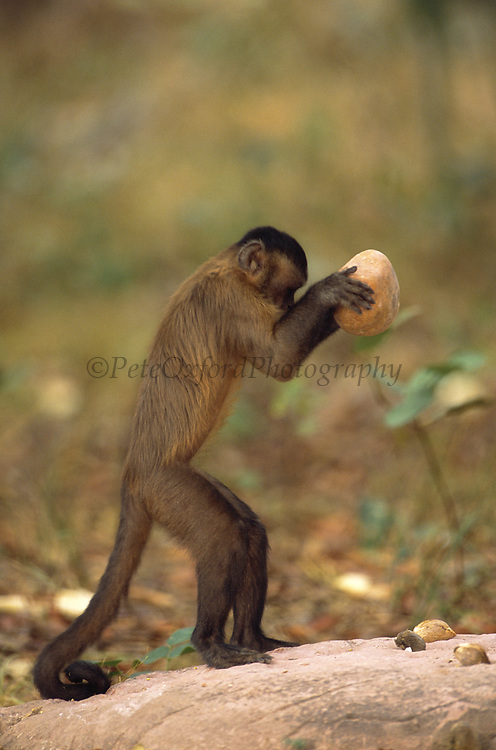 Brown Capuchin Monkey Tool Using<br />Cebus apella<br />Piaui State,  BRAZIL.  South America<br />'Cracking Palm Nut with Rock'