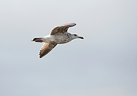 Juvenile Herring Gull (Larus argentatus) in flight, Annapolis Royal tidal generating station, Annapolis Royal, Nova Scotia, Canada,