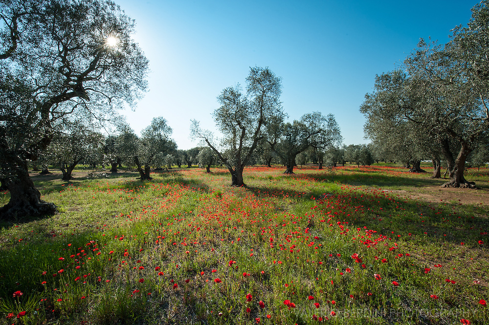 Ancient Olive Trees in Salento have been grown for centuries an are a key part of the agricolture of Apulia (Puglia).