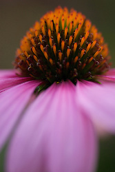 The center of an Echinacea Purpurea is focused on while the petals and background are in soft focus.