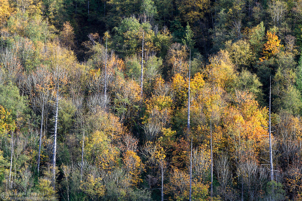 """Fall leaves, mostly Bigleaf Maple (Acer Macrophyllum), on the slopes of Sasquatch Peak in Sasquatch Provincial Park, British Columbia, Canada.  Photographed from """"The Point"""" at Deer Lake."""