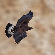 Golden Eagle in Flight photographed in the Ladakh Himalayas.