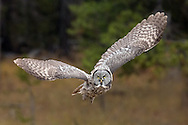 The largest of North America's owls, the great grey owl is a formidable hunter. With his incredible hearing, the owl can detect prey over 300 feet away.  Once detected, the owl will leave his perch, soaring down to the ground in search of his next meal.